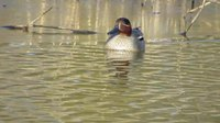 File:Wintertaling - Common Teal.webm