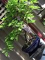 Wisteria sinensis (Chinese wisteria).jpg