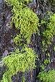 Wolf Lichen (981958005).jpg