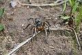 Wolf Spider (41597797885).jpg