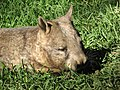 Wombat02.JPG