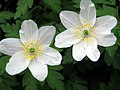 Wood Anemone - Hooke - geograph.org.uk - 1247605.jpg
