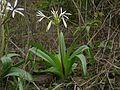 Woodrow's Lily (2600090242).jpg
