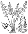 Woodsia oregana BB-1913.png