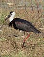 Woolly-necked Stork Ciconia episcopus by Dr. Raju Kasambe DSCN2632 (2).jpg