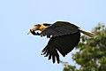 Wreathed Hornbill in Wild.jpg