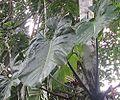 Xanthosoma undipes (21117009705).jpg