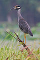 Yellow-crowned Night Heron by Dan Pancamo 1.jpg