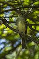 Yellow-olive Flycatcher - South Ecuador S4E9360 (16253345143).jpg