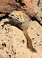 Yellow-pine Chipmunk 1a wray (8271881575).jpg