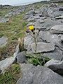 Yellow flower through the limestone (6030523367).jpg