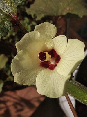 Yellow okra flower.jpg