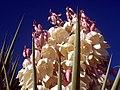 Yucca-closeup.JPG