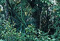 Yucca lacandonica fh 0376 MEX BB.jpg