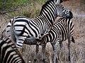 Zebra's (6290407455).jpg