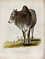 Zoological Society of London; a Brahmin bull. Coloured etchi Wellcome V0023102.jpg