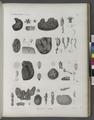 Zoologie. Ascidies. Polyclines, Aplides (NYPL b14212718-1268616).tiff