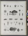 Zoologie. Polypes. Actinies, Polypes tubifères (NYPL b14212718-1268617).tiff