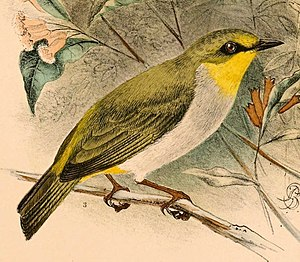 Black-ringed white-eye