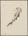 Zygaena blochii - 1700-1880 - Print - Iconographia Zoologica - Special Collections University of Amsterdam - UBA01 IZ14100049.tif
