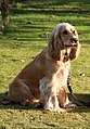 """Bill"" - Cocker spaniel anglais 3.jpg"