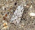 (2237) Grey Shoulder-knot (Lithophane ornitopus) (6797092424).jpg
