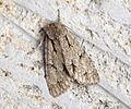 (2284) Grey Dagger (Acronicta psi) - Flickr - Bennyboymothman.jpg