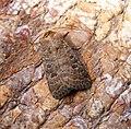 (2382) The Rustic (Hoplodrina blanda) (35751341245).jpg