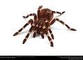(Pet) Brazilian whiteknee tarantula (Theraphosidae, Acanthoscurria geniculata) (23486439338).jpg