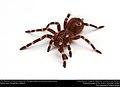 (Pet) Brazilian whiteknee tarantula (Theraphosidae, Acanthoscurria geniculata) (23486440058).jpg