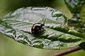 ? (Chrysomelidae) (32754166698).jpg