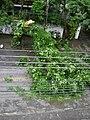 Árvore caída na avenida Francisco Deslandes.JPG