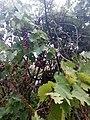 Üzüm ağacı Səngan.jpg