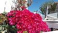 Λουλούδια στην Οια.jpg