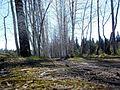 Аллея в Балатовском лесу - panoramio.jpg