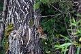 Бурундук на дереве 2.jpg