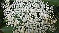 Біле суцвіття у Воєводино.jpg