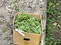 Виноградные плантации на Дальнем Востоке России 7.JPG