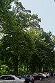 Дуби Петра Могили DSC 0546.jpg