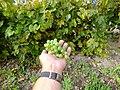 Крупный зеленый дальневосточный виноград ф3.JPG