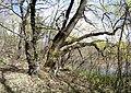Ландшатний заказник на лівому березі озера Конча (22).jpg
