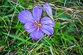 Пољски цвет Владикине плоче.jpg
