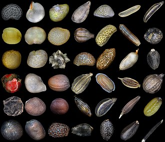 Seed - Seeds of different plants (left to right, not to scale). First row: Poppy, Red pepper, Strawberry, Apple tree, Blackberry, Rice, Carum. Second row: Mustard, Eggplant, Physalis, grapes, raspberries, red rice, Patchouli. Third row: Figs, Lycium barbarum, Beets, Blueberries, Golden Kiwifruit, Rosehip, Basil. Fourth row: Pink pepper, Tomato, Radish, Carrot, Matthiola, Dill, Coriander. Fifth row: Black pepper, White cabbage, Napa cabbage, Seabuckthorn, Parsley, Dandelion, Capsella bursa-pastoris. Sixth row: Cauliflower, Radish, Kiwifruit, Grenadilla, Passion fruit, Melissa, Tagetes erecta.