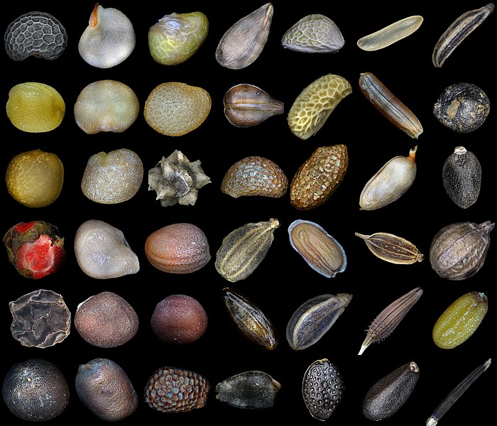 Seeds of various plants. Row 1: poppy, red pepper, strawberry, apple tree, blackberry, rice, carum, Row 2: mustard, eggplant, physalis, grapes, raspberries, red rice, patchouli, Row 3: figs, lycium barbarum, beets, blueberries, golden kiwifruit, rosehip, basil, Row 4: pink pepper, tomato, radish, carrot, matthiola, dill, coriander, Row 5: black pepper, white cabbage, napa cabbage, seabuckthorn, parsley, dandelion, capsella bursa-pastoris, Row 6: cauliflower, radish, kiwifruit, grenadilla, passion fruit, melissa, tagetes erecta.