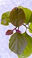 برگ گل کاغذی- leaf of Bougainvillea 18.jpg