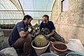 عکس از نحوه تعویض گلدان و خاک کاکتوس در گلخانه - مکان گلخانه دنیای خار در روستای مبارک آباد قم 03.jpg