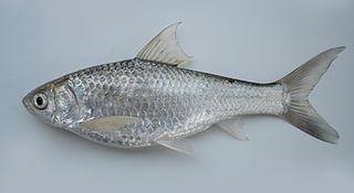 Siamese mud carp species of fish