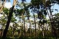 ป่าสน บนทุ่งแสลงหลวง.JPG