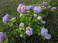 ひとつの株で色の違う花が咲いた状態のあじさい IMG 5444.JPG
