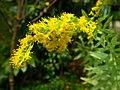 セイタカアワダチソウ(背高泡立草)(Solidago canadensis var. scabra または Solidago altissima)-花 (5844561561).jpg